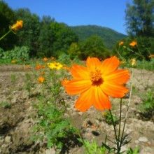 Cosmos sulphureus Orange