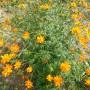 Cosmos sulphureus Orange