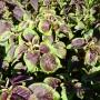 Amaranthe à feuilles Tricolore