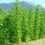 Haricot à écosser à rames Maïs de Tarbes
