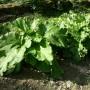 Rhubarbe Victoria