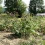 Artichaut vert de Laon