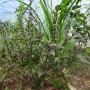 Basilic de Nouvelle Guinée