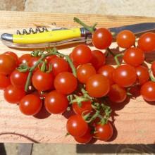 Tomate cerise Peacewine