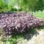 Amaranthe à feuilles Kahulu