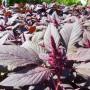 Amaranthe à feuilles Paiute