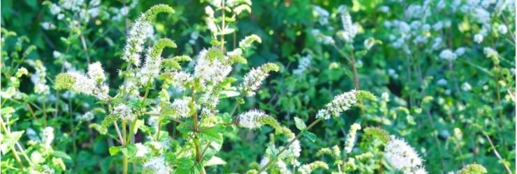Semences aromatiques et officinales