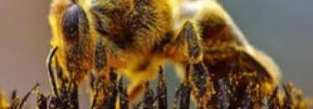 Les abeilles